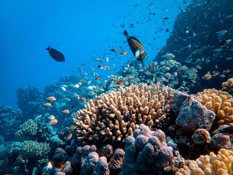 Climate change is the main reason for the destruction for the world's largest coral reef. Francesco Ungaro, Unsplash