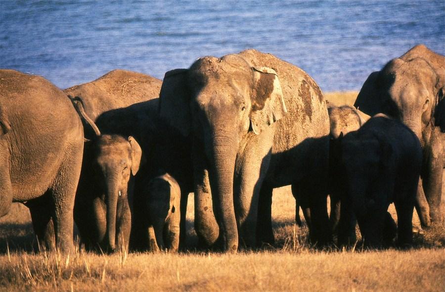 Elefantes al atardecer enUttarakhand, India. Bernard Dupont,Flickr