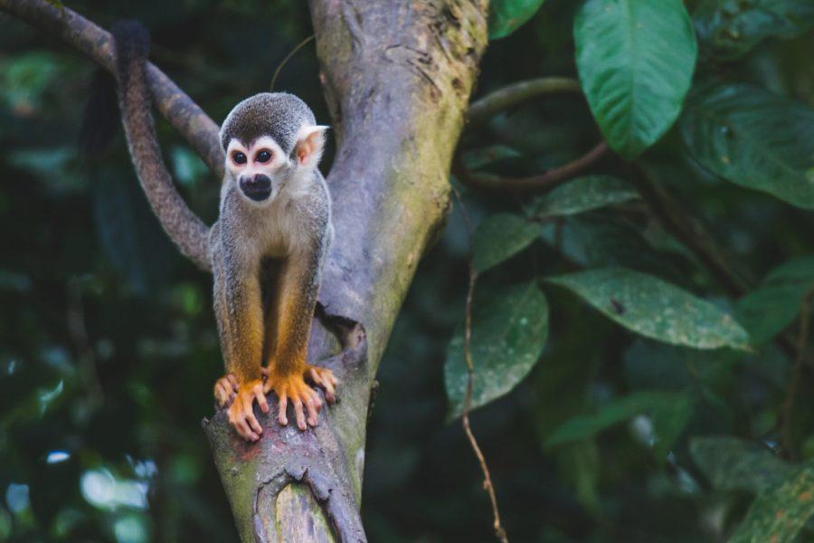 A common squirrel monkey in the Colombian Amazon. Diego Guzmán,Unsplash
