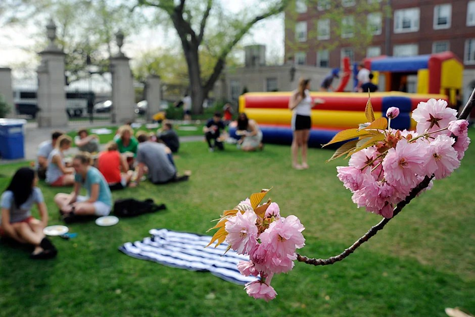 Cherry blossoms frame students dining in the courtyard during the annual goat roast at Dunster House. Jon Chase/Harvard Staff Photographer