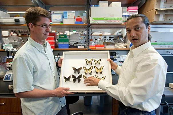 """Marcus Kronforst (left) and Krushnamegh Kunte at Harvard's FAS Center for Systems Biology used genetic analysis to examine the evolutionary history of the Appalachian tiger swallowtail, discovered in 2002. """"Our work provides perhaps the first animal example that illustrates how hybrid species may be selectively favored when they inherit from their parent species-specific combinations of genes that underlie important ecological traits,"""" said Kunte, a postdoctoral fellow at the center."""