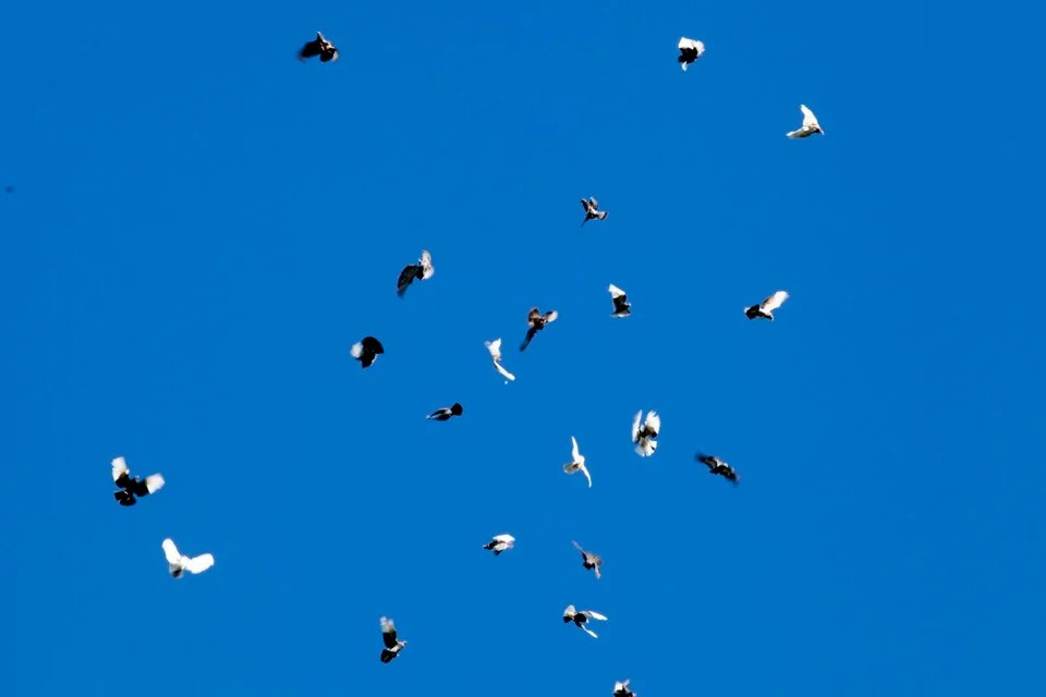 Spring's Roller pigeons in mid-flight.  As they roll, the birds throw their wings back in an arch and spin, head over heels, in a steep plunge toward the ground.