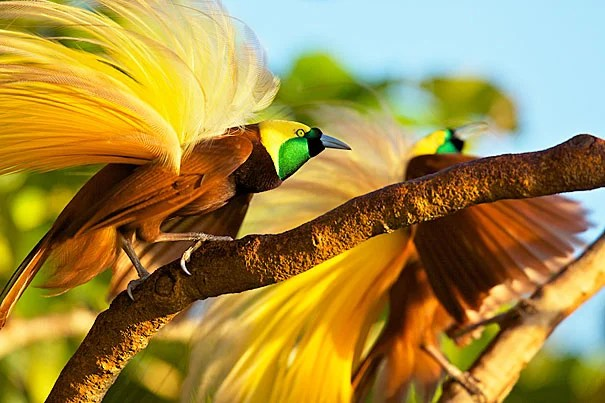 "Adult male greater bird of paradise shaking his plumes as part of his display. When attracting a female, the male will turn away from the female on a downward-sloping branch so his yellow plumes are displayed in an ""explosion of color."""