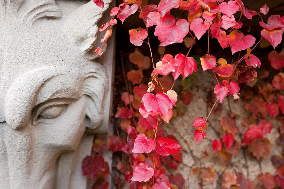 """Hidden in autumn's red ivy is one of the five garden animals adorning the lower building wall under the first-story windowsills of the Guido Goldman Seminar Room. In the book """"An Iconography of Adolphus Busch Hall,"""" Guido Goldman wrote, """"The menagerie of ram, fox, boar and wolf stands here perhaps as a representation of nature's sentinels or merely provides sculptural ornamentation of a rather traditional type found frequently in medieval architecture."""" Rose Lincoln/Harvard Staff Photographer"""