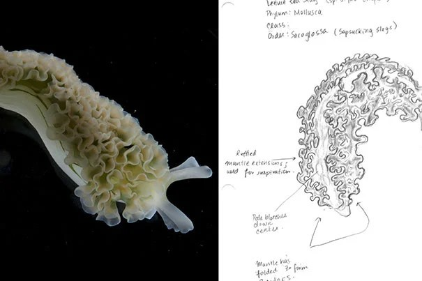 """An Elysia crispata, or """"solar-powered"""" sea slug, photographed and illustrated. The picture was taken by Professor Gonzalo Giribet. Mary Griffin '13 did the illustration as part of Giribet's class, """"Biology of Invertebrates."""""""