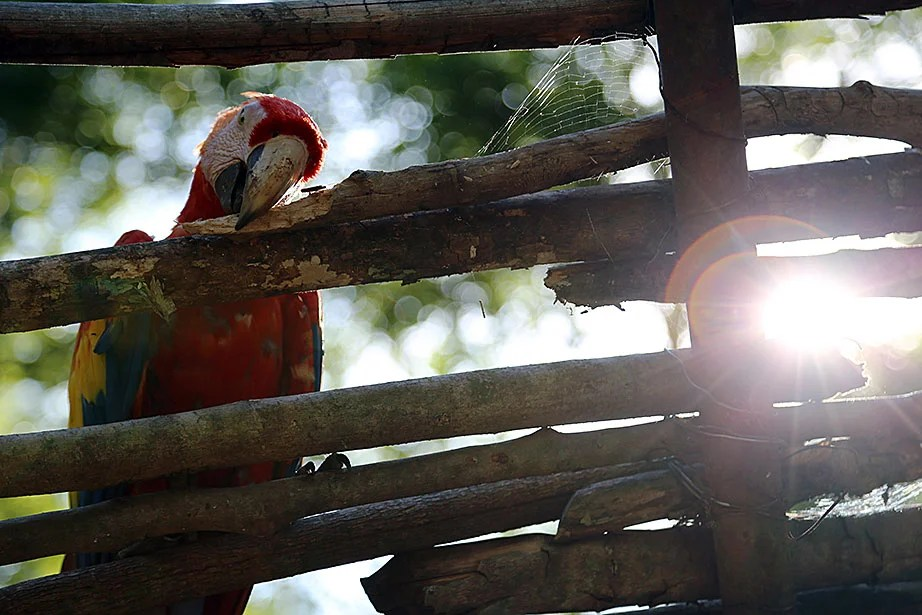 A macaw nibbles on a wooden fence as a spider casts its web at Copán's main ruins.