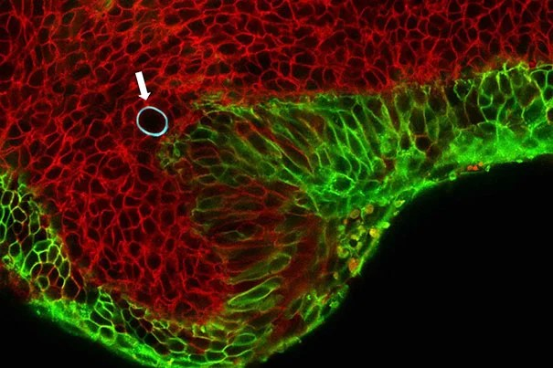 Cells in the embryonic jaw of a mouse (red) squeeze a cell-sized, spherical oil droplet (with blue border, shown with arrow). The droplet deforms like a water balloon, and the degree to which it deforms allows scientists to calculate the pressure cells exert on their neighbors.