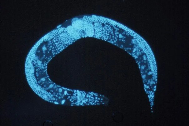 Harvard's Jeff Lichtman and Radcliffe Fellow Mei Zhen are among the recipients of the Human Frontier Science Program grants. They will use their award to study the nervous system development of the C. elegans (pictured). Five additional Harvard faculty are also recipients: David Nelson, Andrew Murray, Aravinthan Samuel, Florian Engert, and Pier Pandolfi.