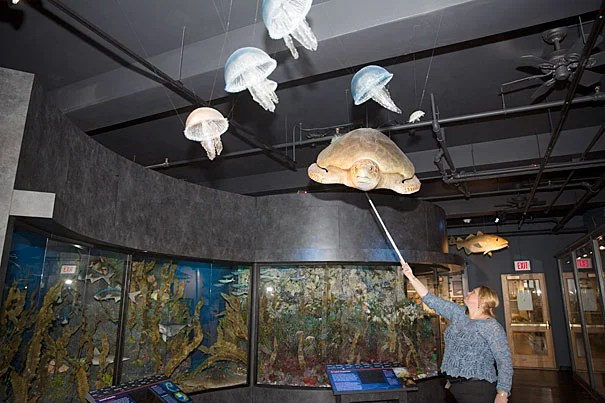 "The centerpiece of the new ""Marine Life"" exhibition — a floor-to-ceiling re-creation of life in New England's coastal waters — will immerse visitors in the astounding diversity and dynamic interplay among animals in marine communities just off local shores. Above, Assistant Director of Exhibitions Sylvie Laborde dusts a hanging sea turtle specimen prior to opening."