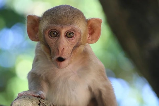 "A new study shows that gaze-following in monkeys develops in a way that's nearly identical to how it develops in humans. ""Even though it seems like it's a very simple thing, this is a foundational social and cognitive skill that humans have,"" said first author Alexandra Rosati, an assistant professor of human evolutionary biology."