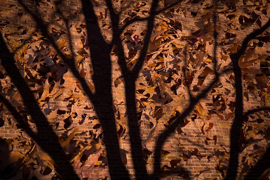 Fallen oak leaves overlay the shadows and bricks along Houghton Library.