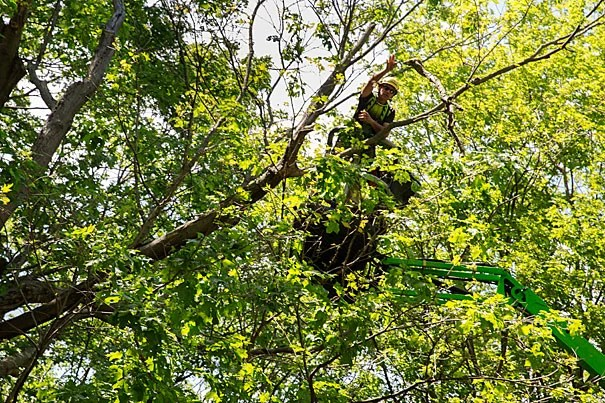 John DelRosso, head arborist at the Arnold Arboretum, cuts tree branches to be quarantined where forest managers and scientists can collect and identify pests that emerge from the wood.