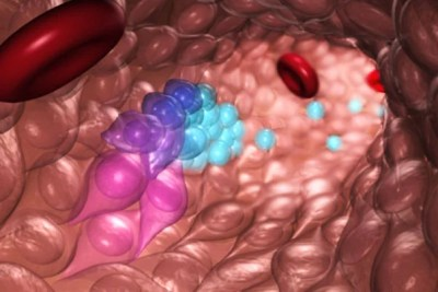 An illustration of blood stem and progenitor cells (blue) emerging from hemogenic endothelial cells (purple) during normal embryonic development. Researchers at Boston Children's Hospital recapitulated this process to transform the hemogenic endothelial cells into blood stem and progenitor cells, potentially creating a process to make virtually every cell type in the body.