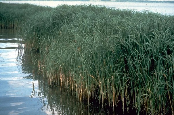 When a Cambridge Rindge and Latin student learned that Louisiana's marshes (pictured) were becoming increasingly fragile, he wondered about local marshes, too. That set Owen Ryerson on a new path — straight to a marine biology internship program.