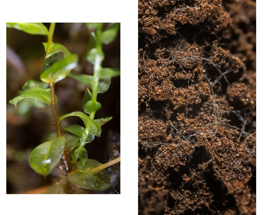 Moss with water drops (left) and soil containing fungal filaments, both photographed in Kittery Point, Maine. Photos by Scott Chimileski
