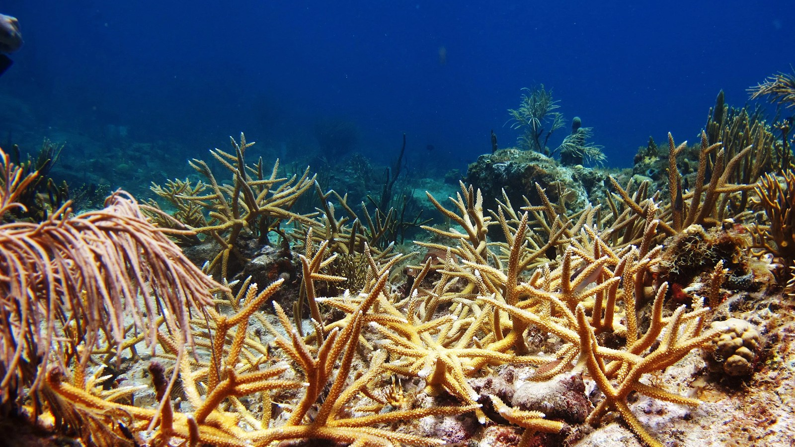 harvard research explores impact of coral restoration harvard gazette