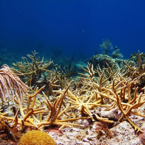 A new study suggests that efforts to restore coral reefs, such as this staghorn coral thicket outplanted at Great St. James, have a positive impact on fish populations, both short- and long-term.