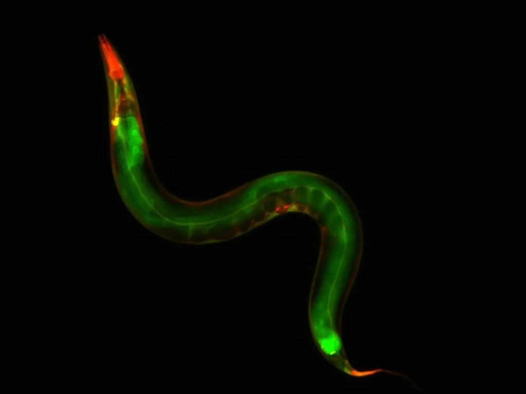 C. elegans, a nematode worm.