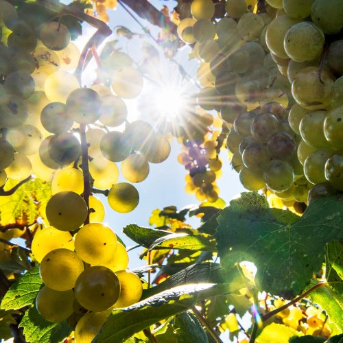 Though vineyards might be able to counteract some effects of climate change by planting lesser-known grape varieties, scientists and vintners need a better understanding of the wide diversity of grapes and their adaptations.