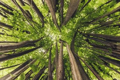 Canopy of trees, Arnold Arboretum.