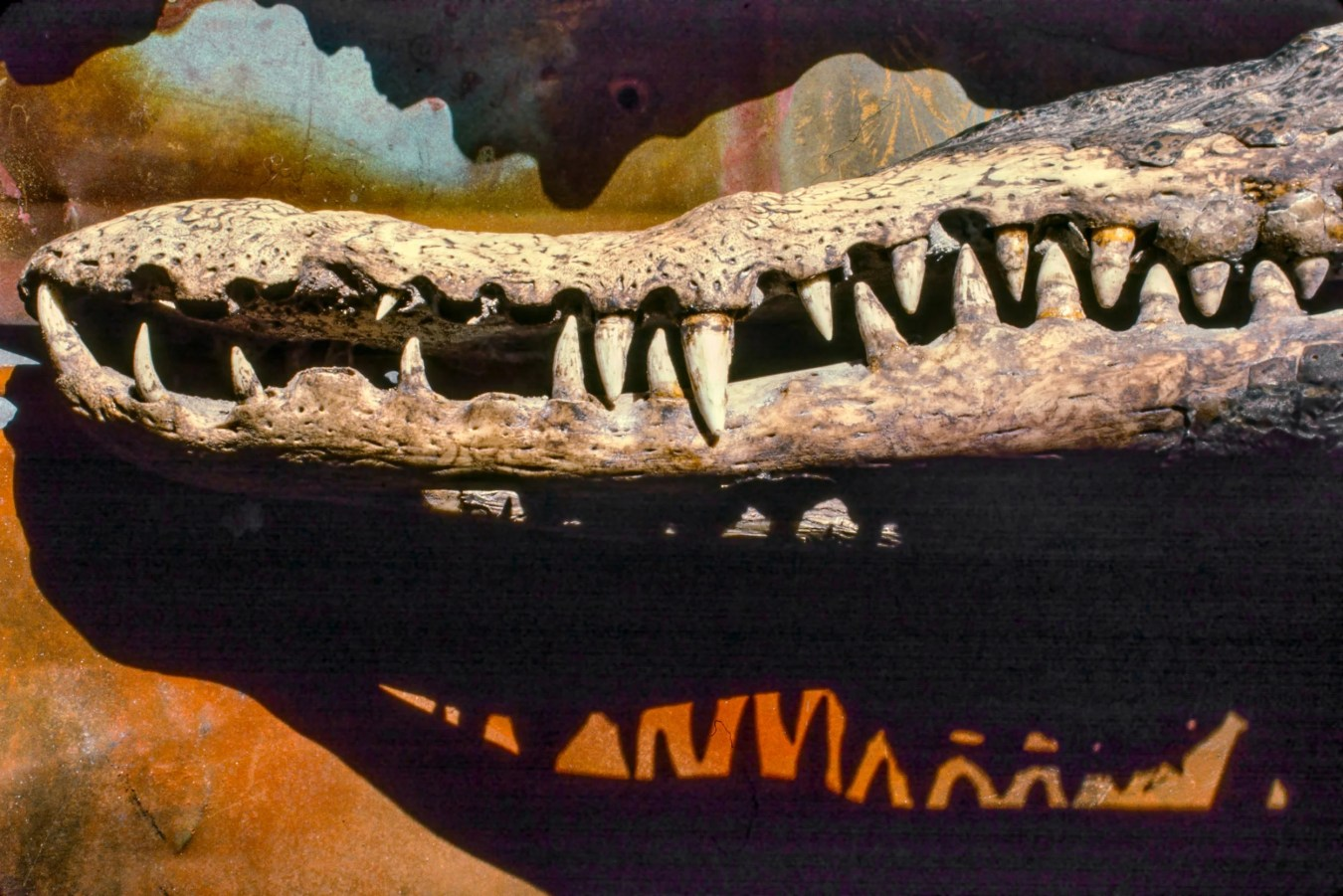 Crocodile jaw and shadow of its teeth.