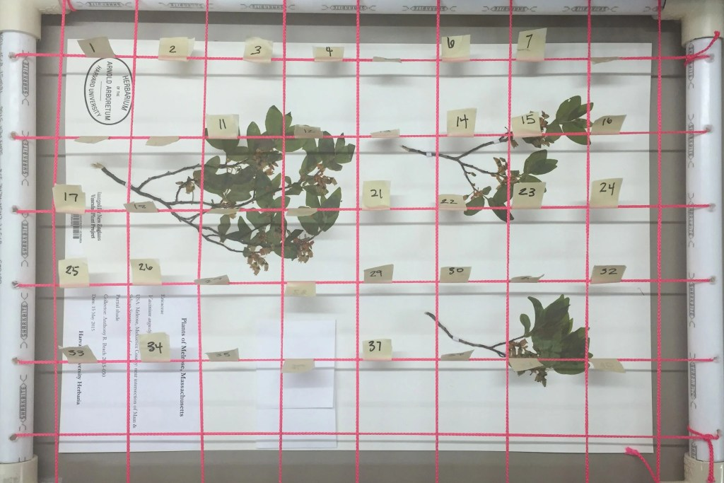Plant specimens in Harvard's herbarium are studied for insect damage.