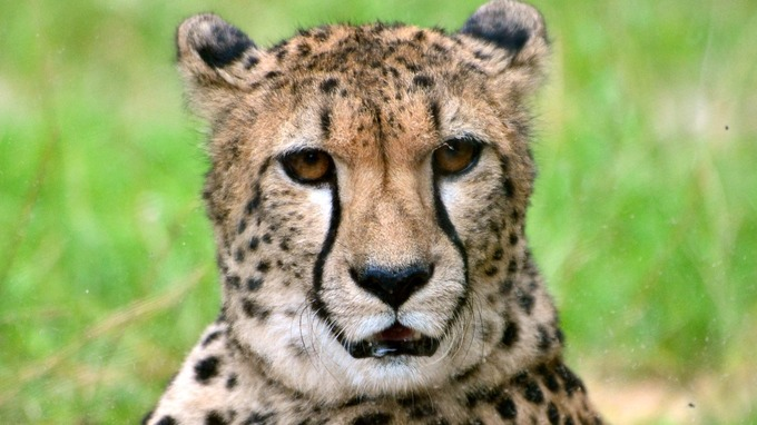 Image result for The Cheetah is much more vulnerable than previously thought
