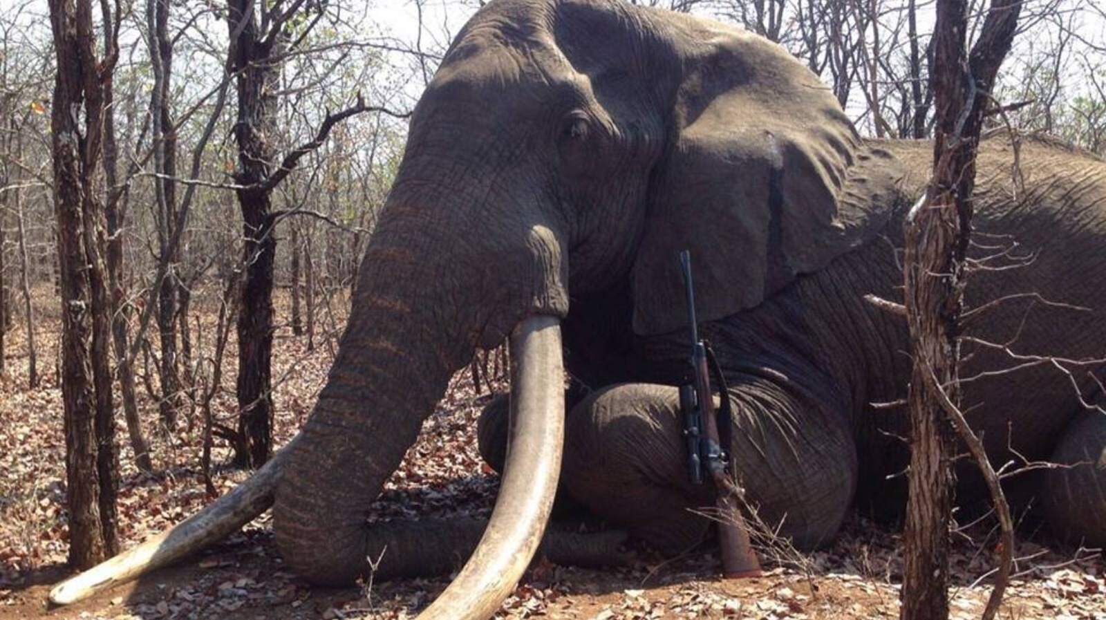 Hunter Condemned For Shooting Huge African Elephant Itv News