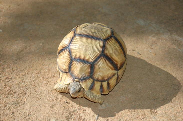 В Таоюаньском аэропорту обнаружили трёх «самых дорогих в мире» черепах