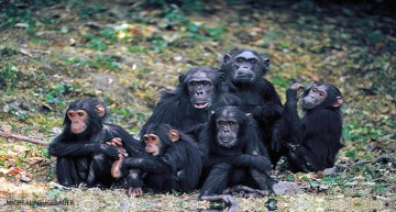 Science Update: Chimps Start Wars for Power and Benefit From Play