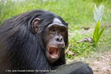 Chimp Stories: Luc