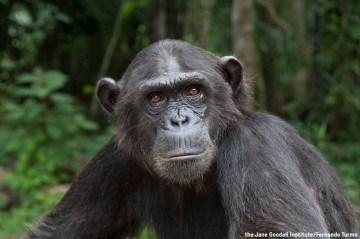 Wounda: The Amazing Story of the Chimp Behind the Hug with Dr. Jane Goodall