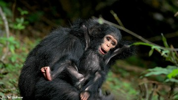 Changing of the Chimp Matriarchal Guard in Gombe