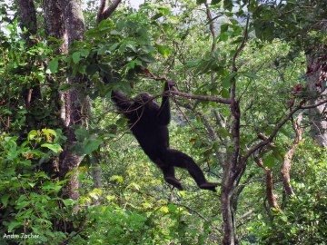 Bringing JGI's Innovative Chimpanzee Conservation Models and Tools to Liberia