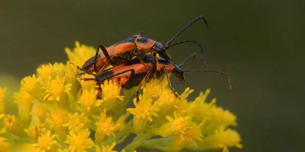 Solider Beetles Mating