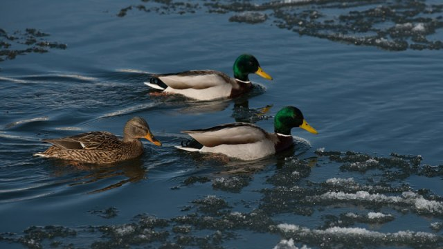 Winter Ducks