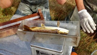 big thompson trout