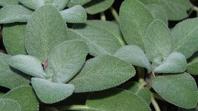 Salvia Officinalus