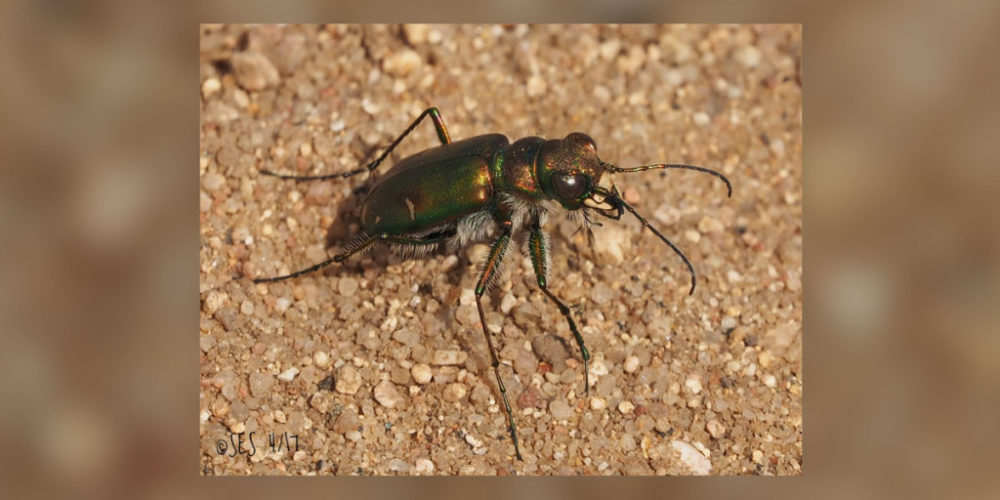 Purple Tiger Beetle