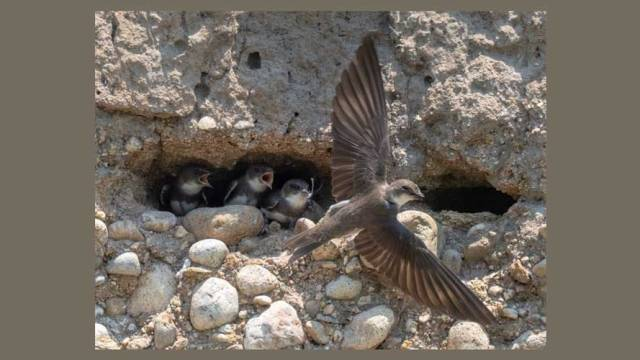 bank-swallow-nestlings