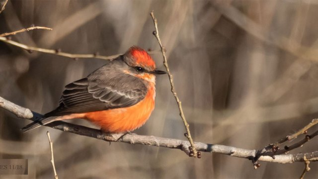 vermilion-flycatcher-severs