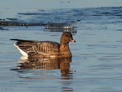 pink-footed-goose