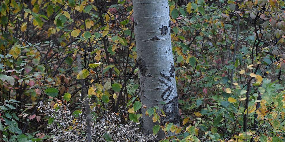 bear claw marks on aspen