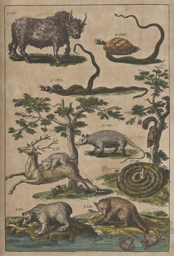"""Fanciful eighteenth century drawings of indigenous wildlife, including a bison that looks like a wooly domestic cow, a tortoise, a snake twined around another snake, an opossom, a coiled rattlesnake """"charming"""" a squirrel down a tree, a mountain lion upon the back of a deer. a bear eating a fish it caught from a stream, and a racoon baiting a crab with its tail in the water."""