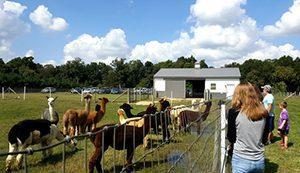 Alpaca Festival in Preston, Marylandisitors to Alpaca Festival in Preston, Maryland