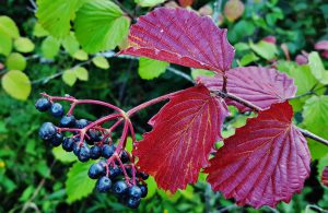 Photo of dark berries and red leaves