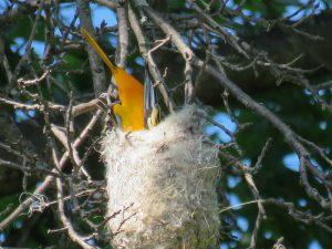 Baltimore oriole building a nest