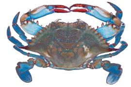 Photo of blue crab
