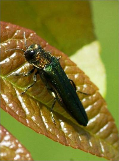 Emerald Ash Borer is destroying ash trees across the country.