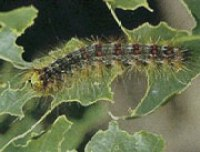 Gypsy Moth catapillar